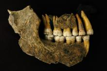 Maxilla and mandible assemblage of a late Neanderthal from Spy cave (c) Patrick Semal