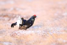Tétras lyre mâle (photo : IRSNB)