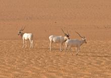 L'antilope Addax (Photo: Thomas Rabeil/Sahara Conservation Fund)