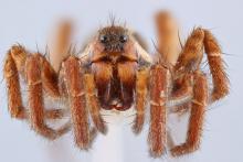 Une araignée d'un centimètre en gros plan. Tous les yeux sont visibles.
