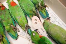 Parkieten in de collecties vertebraten