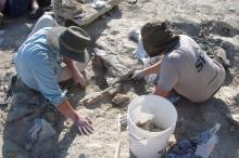 Deux membres de l'équipe dégagent un fossile (photo : IRSNB)