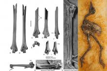 Fossil bones of a leg (tarsometatarsus) and a wing (carpometacarpus) of a Messelornithidae of Egem (early Eocene) compared to those of Messelornis cristata of Messel, Germany (middle Eocene) (Photo: Sven Tränkner and Thierry Hubin)