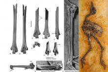 Ossements de patte et d'aile d'un Messelornithidae d'Egem (début de l'Éocène) comparés à ceux d'un Messelornis cristata de Messel, en Allemagne (Éocène moyen) (photo : Sven Tränkner (Senckenberg Institute) & Thierry Hubin (IRSNB))