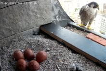 Un des deux faucons pèlerins nichant à l'ULB veille sur les 5 œufs pondus (photo : IRSNB)