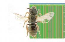 Une abeille sauvage de la famille Halictidae (photo : Alain Pauly / IRSNB) et un morceau de son séquençage ADN