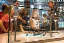 Fossiel skelet van de kleine volwassen krokodil Bernissartia fagesii - 125 miljoen jaar oud - in de Galerij van de Dinosauriërs. (Foto: KBIN)
