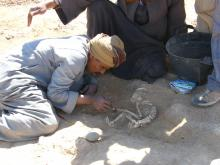 Excavation of the young baboon. In the left forearm of the animal a parry fracture of the ulna and the radius can be seen.