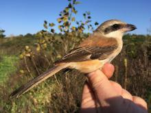 Nos ornithologues ont bagué une Pie-grièche schach dans la réserve naturelle du Zwin à Knokke. Cette espèce n'avait jusqu'à présent jamais été observée dans notre pays. (Photo: Didier Vangeluwe, IRSNB)