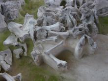 Fossiles de mammouth sur le site russe de  Yudinovo (Photo : Mietje Germonpré, IRSNB)