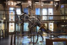 Mantellisaurus atherfieldensis, de 'kleinere en slankere iguanodon', met op de achtergrond de loggere Iguanodon bernissartensis. (Foto: KBIN)