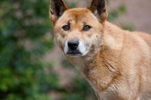Le chien chanteur de Nouvelle-Guinée appartient à l'une des (au moins cinq) lignées qui se sont séparées de la population canine ancestrale pendant la dernière ére glaciaire.(Photo: Nathan Rupert)