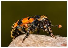 Le coléoptère Nicrophorus sp. couvert de parasites (photo : Pascal Kileste)