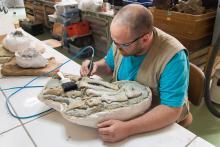 Preparateur Aldo Impens aan het werk. Eén voet uit het sediment verwijderen is al gauw een maand werk. (Foto: Thierry Hubin, KBIN)