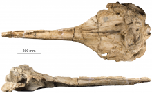 The skull of Rhaphicetus (dorsal view and lateral view). (Photo: RBINS)