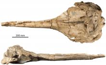 De schedel van Rhaphicetus (rug- en zijaanzicht). (Foto: KBIN)