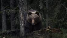 Europese bruine beer (Ursus arctos) (foto: Per Harald Olsen)