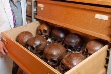 Collectie schedels van een middeleeuwse begraafplaats bij de abdij Ten Duinen in Koksijde. (Foto: KBIN)
