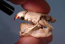 Barbatodon transylvanicus, het oudste fossiele zoogdier met rode tanden. (foto: Thierry Smith, KBIN)