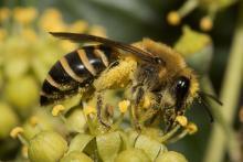 L'abeille solitaire Colletes hederae butinant des fleurs de lierre