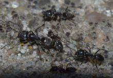 Des fourmis invasives Tapinoma à Ostende (photo : Thomas Parmentier, IRSNB)