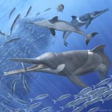 Artistieke reconstructie van drie individuen van de uitgestorven spitssnuitdolfijn Messapicetus gregarius. Ze voeden zich met sardines dichtbij het wateroppervlak, langs de kust van het huidige Peru. (Illustratie: A. Gennari)