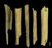 Human bone fragments from the Goyet caves (Belgium), between 27,000 en 35,000 years old and belonging to haplogroups M or N. (Photo: Eric Dewamme, RBINS)
