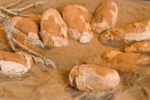 Elongatoolithus, waarschijnlijk eieren van Oviraptor (foto: Thierry Hubin / KBIN)