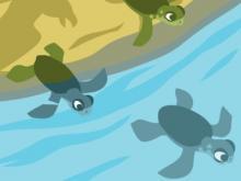 Baby zeeschildpadden die na het uitkomen van de eieren terugkeren naar zee (illustratie: Claude Desmedt / KBIN).