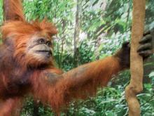 Raconte-moi : Tang le petit orang-outan