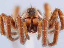 Une araignée d'un centimètre en gros plan. Tous les yeux sont visibles. (photo-test, © Jonathan Brecko, IRSNB)