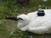 Young white stork that was equipped with a transmitter at the end of June 2019 at the Zwin Nature Park. (© Zwin Natuur Park)