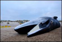 Le rorqual commun sur la plage du Coq (Image: IRSNB)