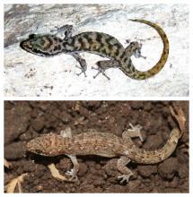 Top: Cha-Am leaf-toed gecko (Dixonius pawangkhananti), Bottom: Ranong leaf-toed gecko (Dixonius dulayaphitakorum), both (c) Montri Sumontha