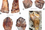 Dents des mâchoires supérieure (a/b et c/d) et inférieure (e/f et g) de Matheronodon provincialis (échelle : 2 cm, photo : Pascal Godefroit / IRSNB)