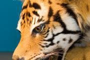 Tigre CITES