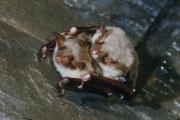 Paring van watervleermuizen (Myotis daubentonii)
