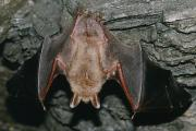 Vale vleermuis klaar om uit te vliegen (Myotis myotis)