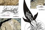 Restes fossiles de la baleine à bec éteinte Messapicetus gregarius (c) et de son dernier repas : des dizaines de sardines (a, b et d). (Photos et illustrations : G. Bianucci)