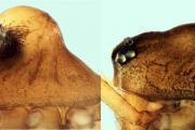 Oedothorax gibbosus : à gauche, la forme à bosse ; à droite, la forme sans bosse (Photo: Pierre Ogier)