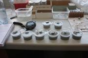 En laboratoire, des larves de Pogonus chalceus, ont été exposées artificiellement à des « flux et reflux » ou des « inondations prolongées ». (photo : IRSNB)