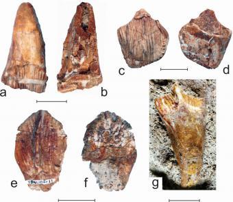 Tanden uit bovenkaak (a/b en c/d) en onderkaak (e/f en g) van Matheronodon provincialis. (Schaalbalk: 2 cm) (Foto: Pascal Godefroit, KBIN)