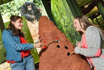 Chasse aux termites dans l'exposition LES SINGES