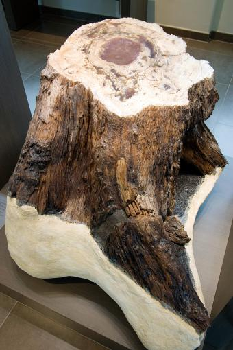 Petrified wood of Hoegaarden - trunk