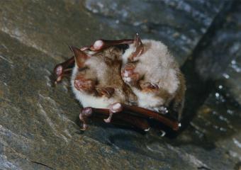 Accouplement de Murin de Daubenton (Myotis daubentonii)