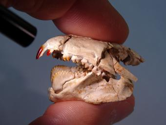 Scientist holding skull of Barbatodon transylvanicus, the oldest fossil mammal with red teeth. (photo: Thierry Smith, RBINS)