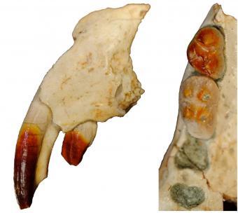 Les reliefs des molaires, auxquels les Multituberculés doivent leur nom, et les zones rouge sang, dues à la présence de fer dans l'émail, sont bien visibles (photo : Eric De Bast, IRSNB).