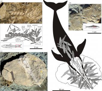 Fossiele resten van de uitgestoven spitssnuitdolfijn Messapicetus gregarius (c) en van zijn laatste maaltijd: tientallen sardines (a,b,d). (foto's en illustraties: G. Bianucci)