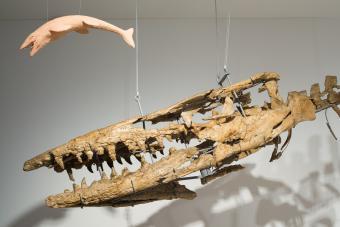 Hainosaurus bernardi