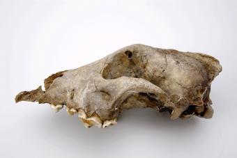 Crâne de chien de Goyet